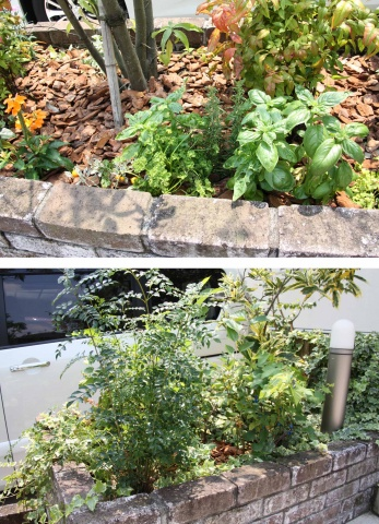 建物前には、バジル(写真上)やブルーベリー(写真下)などが植えられており、入居者に自由に収穫・使用してもらっている。水やりなどは林氏が自ら行なっている